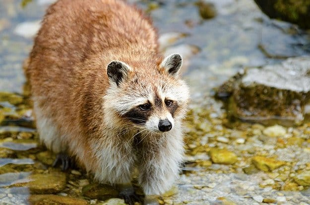 Raccoons | How To Identify & Stop The 8 Top Predators That Prowl Your Homestead