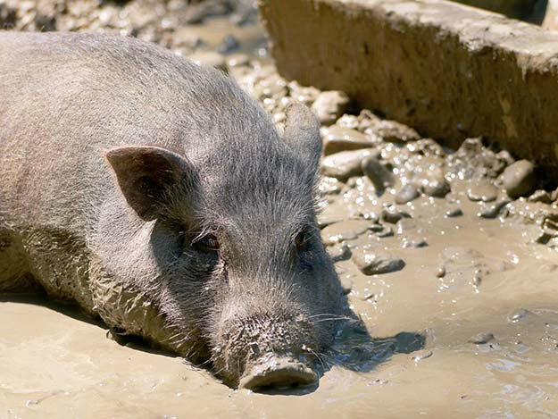 Pigs Need Cooling in Summer | Tips for Raising Healthy Pigs