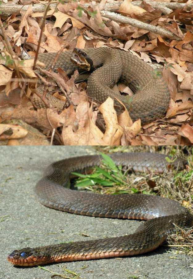 Cottonmouths | 5 Venomous Snakes & Their Look-Alikes