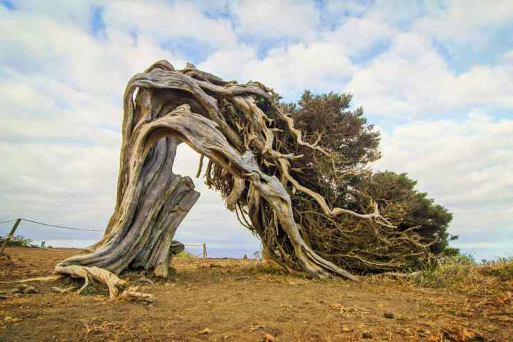 Gnarled Juniper Tree Shaped By The Wind | How To Build DIY Survival Shelters To Survive Through The Night