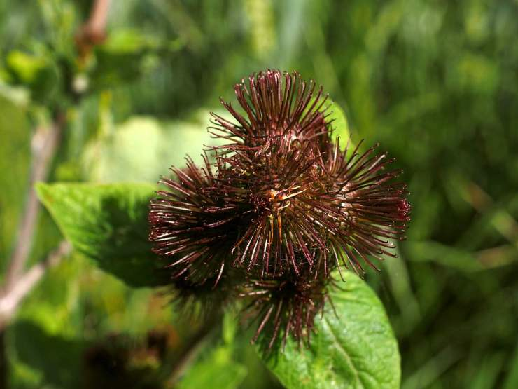 Great Burdock   Medicinal Plants You Need To Make Natural Home Remedies   Survival Life   medicinal herb plants
