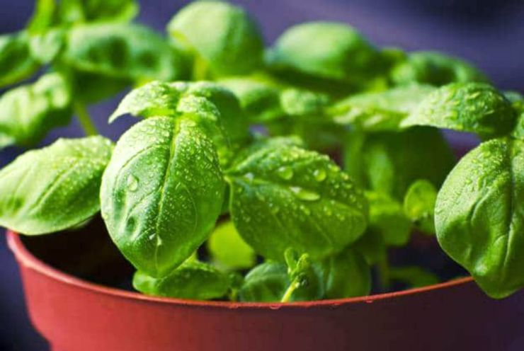 Basil plant pot | Incredible Medicinal Herbs For Your Indoor Garden