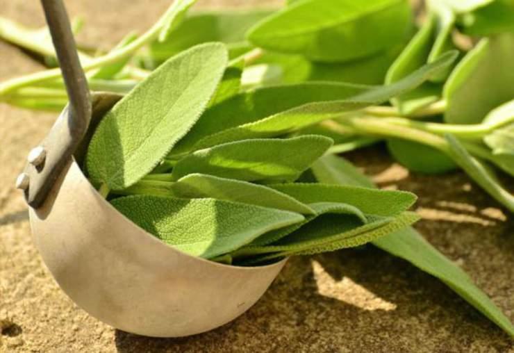 Green sage herbs | Incredible Medicinal Herbs For Your Indoor Garden