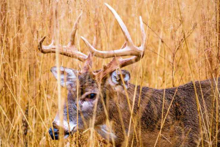 Deer in grass field   How To Practice For Bow Hunting
