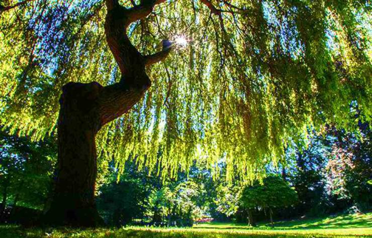 Willow Tree | The Top Ultimate Medicinal Herbs For Your Bug Out Bag