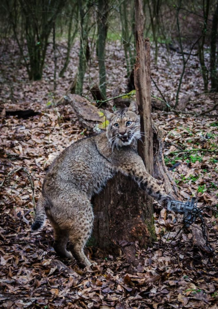 bobcat-feline-caught-by-trapper-live | Booby Trap