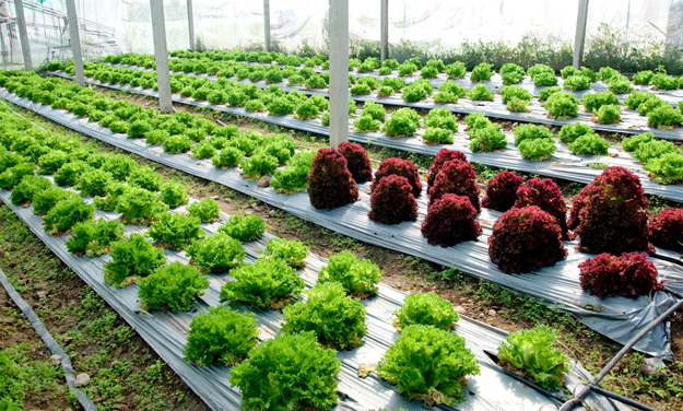 Lettuces | Vegetables to Grow Now for a Quick Harvest | vegetable garden plants