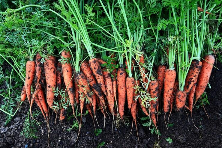 Carrots | Planning a Real Fall Garden