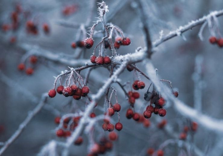 Focus photography of red berries | winter berries