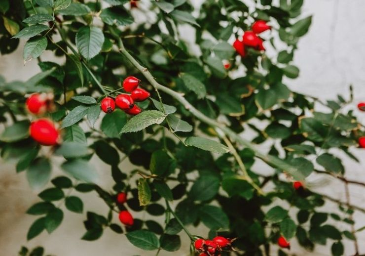 Red ripe berries on green branches of bush | foraging herbs