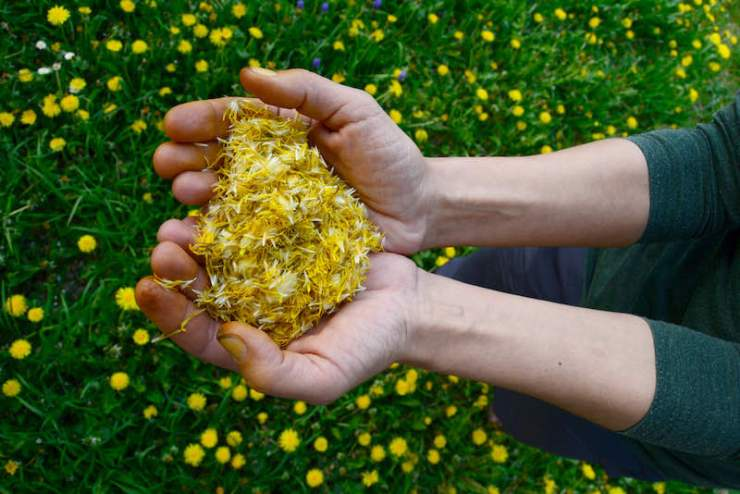 Close up of hands holding harvested dandelion petals for healthy tea | dandelion salad