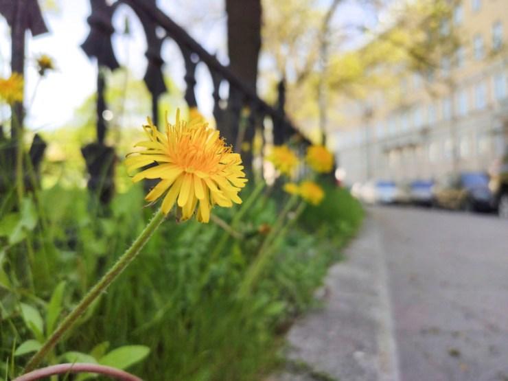 Dandelion flowers on yellow city street | eating dandelions benefits