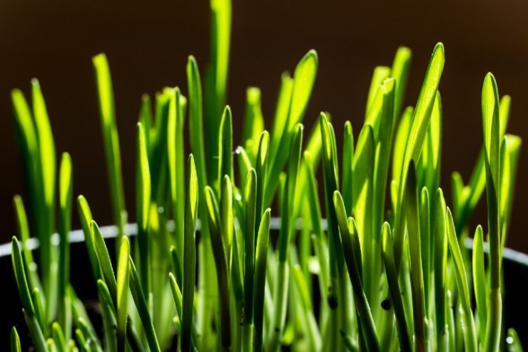Fresh, young stalks of green barley grass-Wild Survival Foods-ss