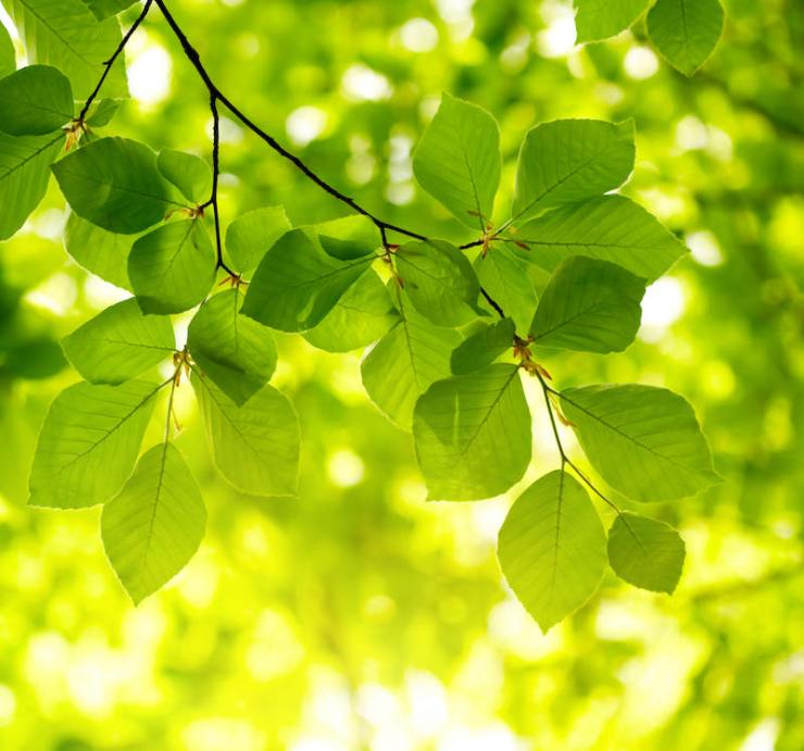 Green leaves background | tree identification by leaf