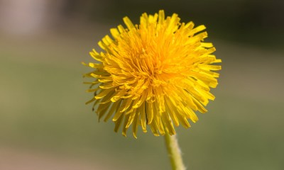 Taraxacum, commonly known as dandelions | eating dandelions side effects