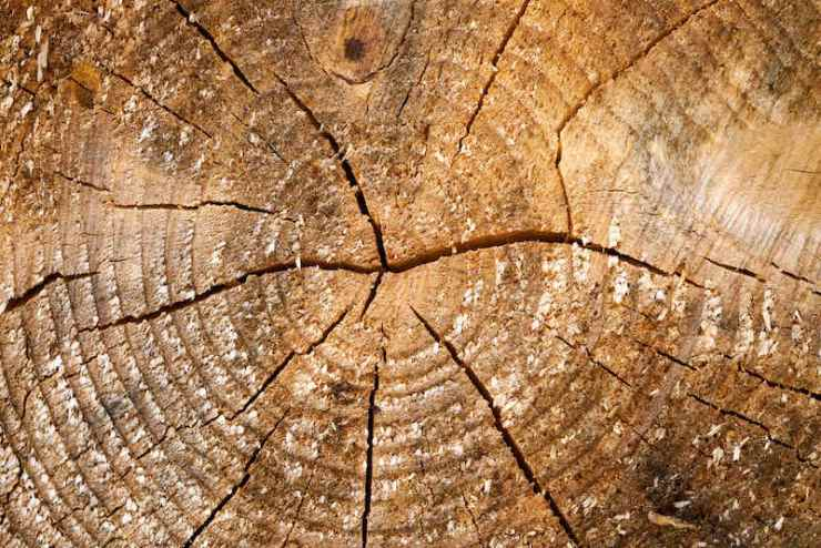 Tree rings old weathered wood texture with the cross section of a cut log | tree identification by bark