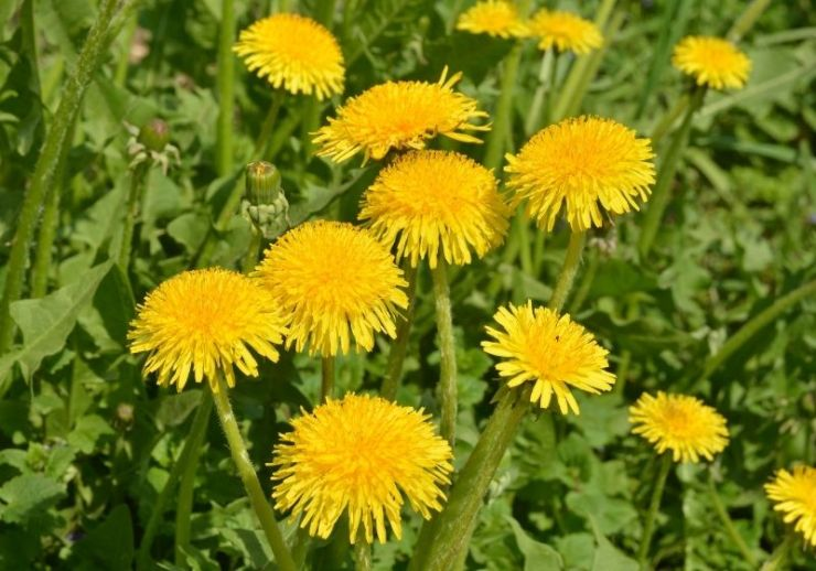 Yellow dandelions | edible wild plants