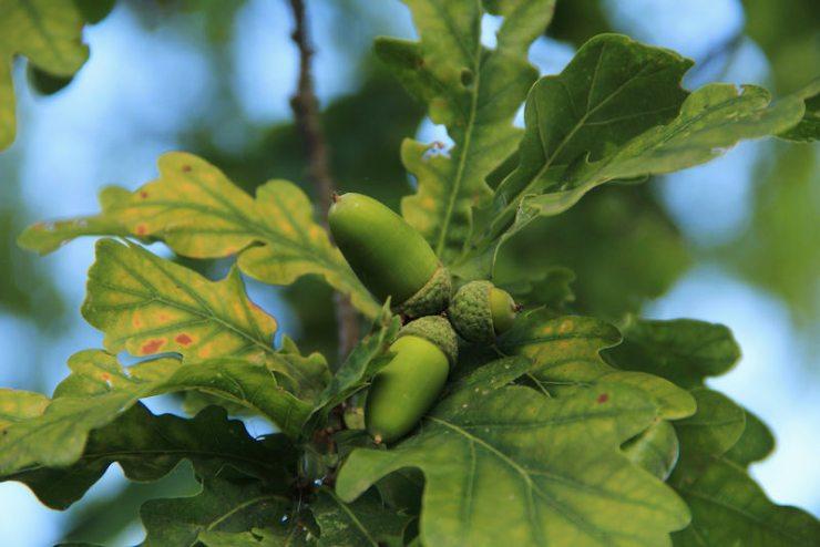 an acorn from an oak tree on the background of oak leaves | tree identification service