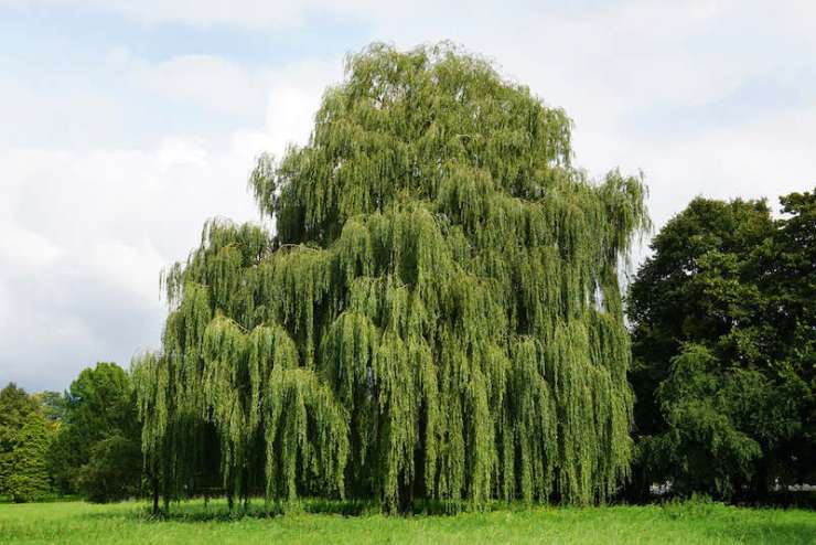 weeping willow tree | best tree identification app