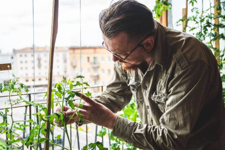A man gardening in a city apartment. Close-up. Gardener grows tomatoes in the room-kitchen garden