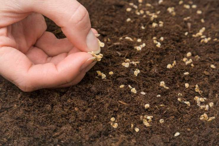Gardeners-hand-seeding-tomato-seeds-in-the-ground-seed-starting