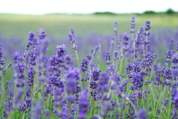 Lavender | Mosquito repellent plants