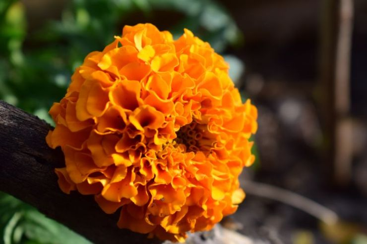 Marigold | Mosquito repellent plants