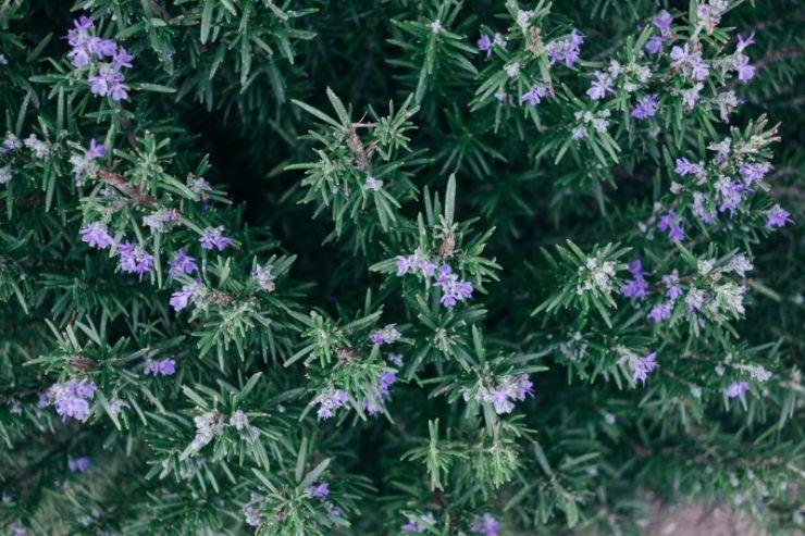 Rosemary | Mosquito repellent plants