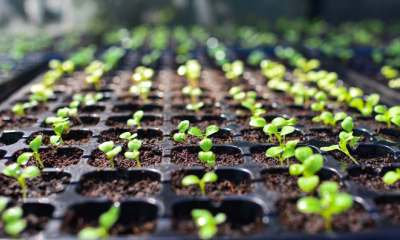 selective Close-up of green seedling.Green salad growing from seed | Seed Starting for Preppers – What You Need to Know | featured