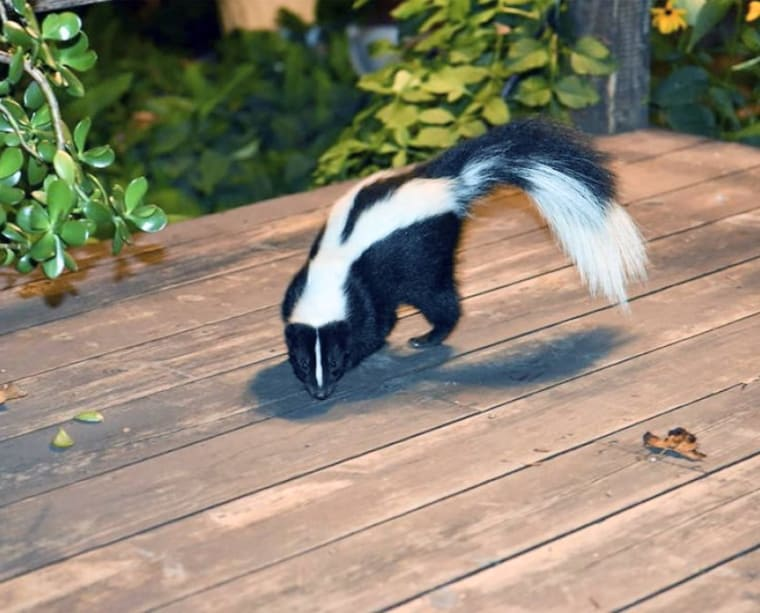 How To Get Rid Of Skunks Top Hacks And Tips Updated