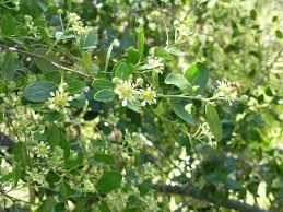 flores de quillay