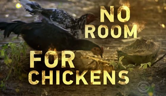 No Room For Chickens on Survivor 2016