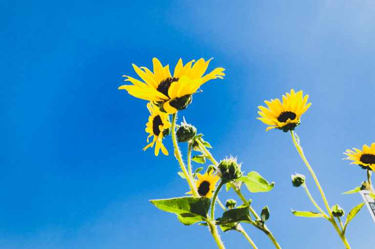 low angle photo of sunflower