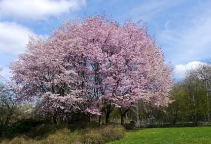 Körsbärsträden vid Växjösjön är magnifika just nu...