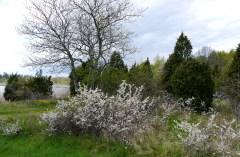 Vi möts av slånbärsbuskar...