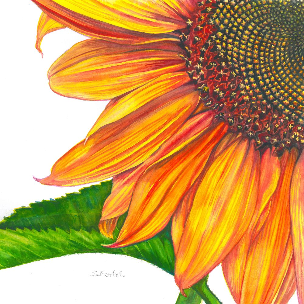 Full Sun – Image © Susan Bartel. All Rights Reserved.