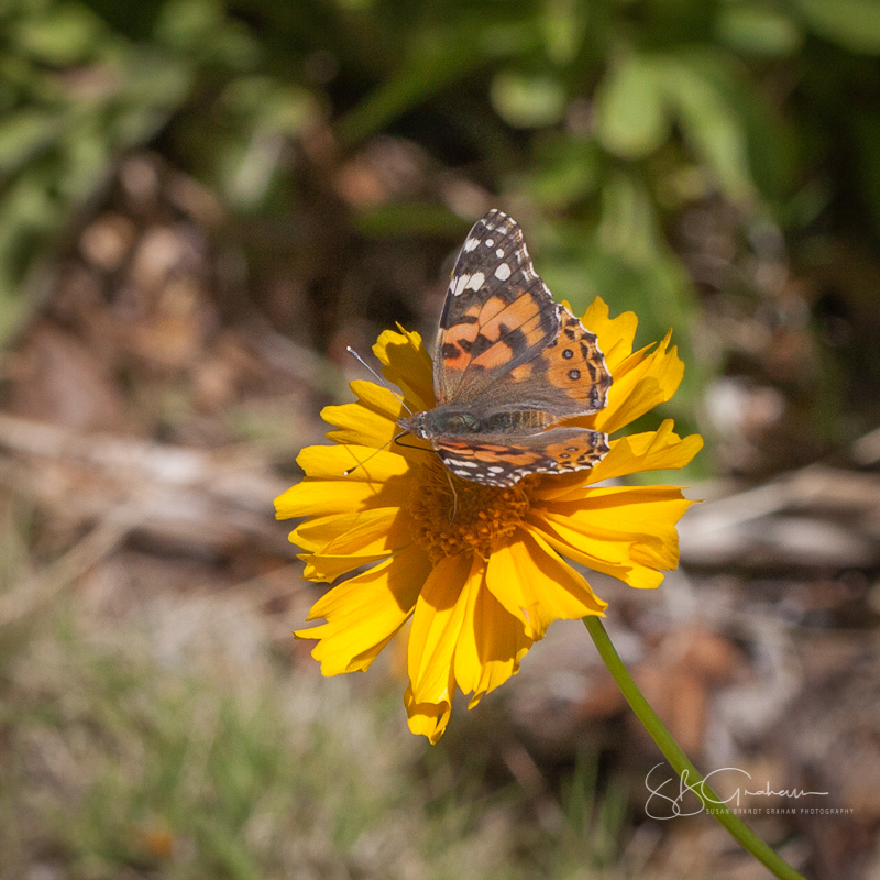 Painted Lady Butterfly Sunday