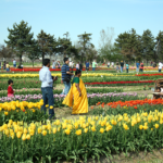 Tulip-Farm-Tulip-Time-Holland-Michigan
