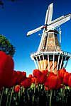 windmill-tulips