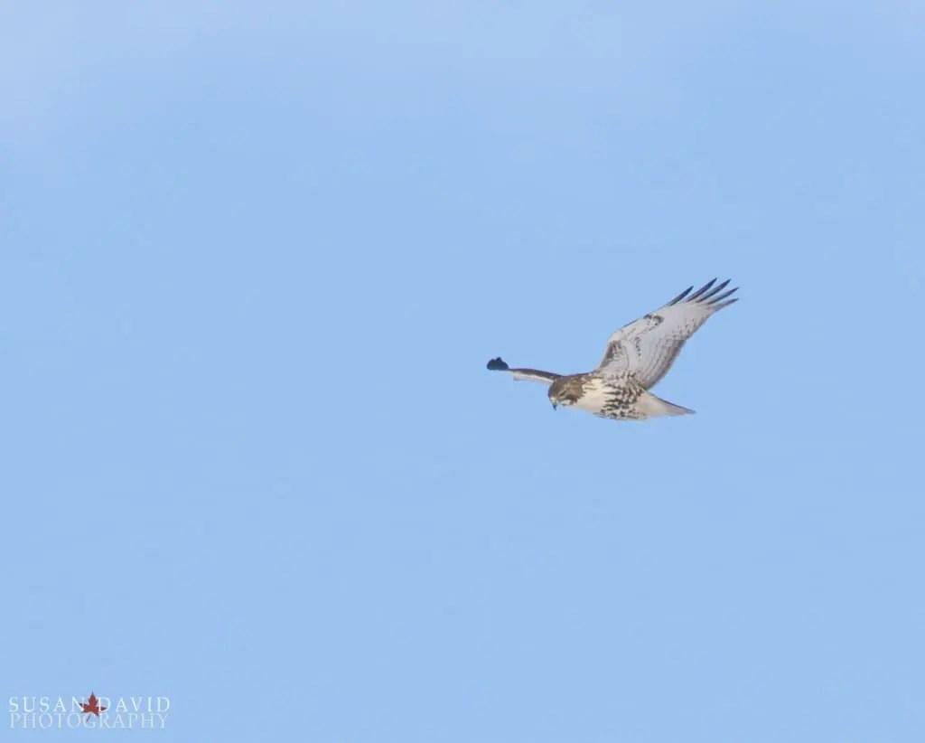 Hawk-overhead-1024x822-1.jpg
