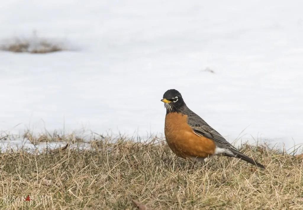 Spring-Robin-1024x711.jpg