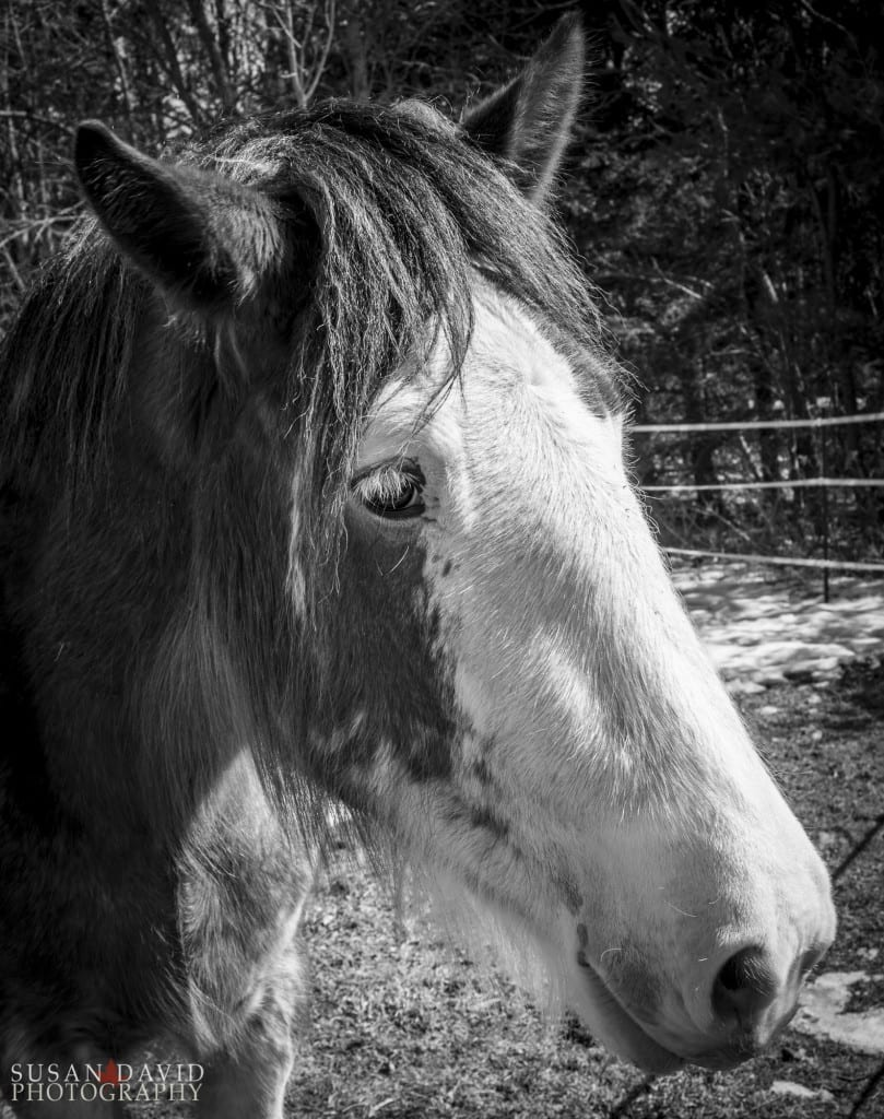 Young-Clydesdale-809x1024.jpg
