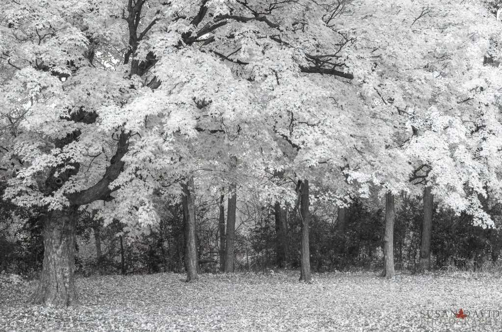 InfraRed-Autumn-Trees-1.jpg