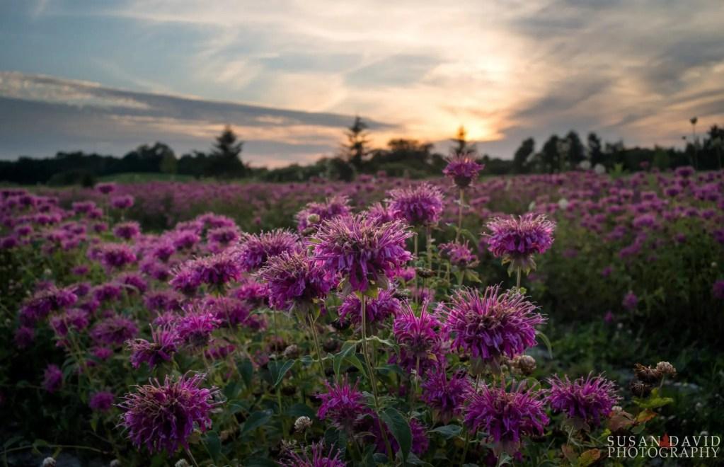 Field-of-Purple.jpg
