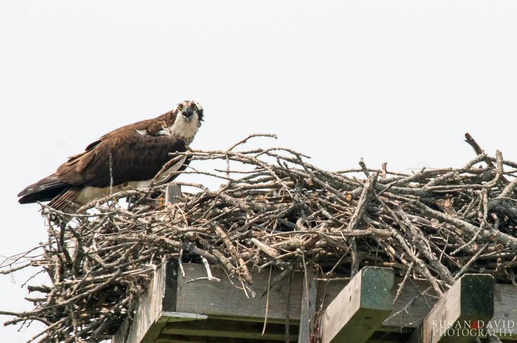 Osprey-with-Nest.jpg