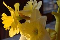 Daffodil in Morning Light