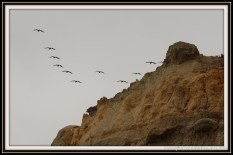 Another Pelican Formation