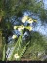 Organ Pipe Cactus
