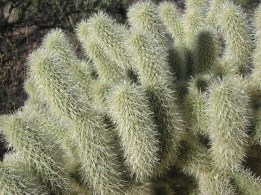 Grandfather Cactus