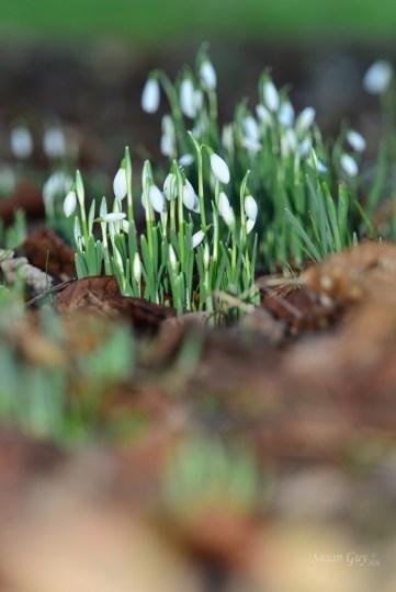 SGP_0209 Susan Guy_Calke Abbey_Garden_Snowdrop_14.01.16_3
